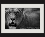 Lion BW frame. Черно белый постер в рамке из дерева. Размер 65х45 см. цена 10 у.е.